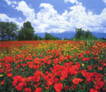 Kazakhstan, Remeria is a variety of poppy