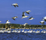 Kazakhstan, White Pelicans are put down in the Reb Book
